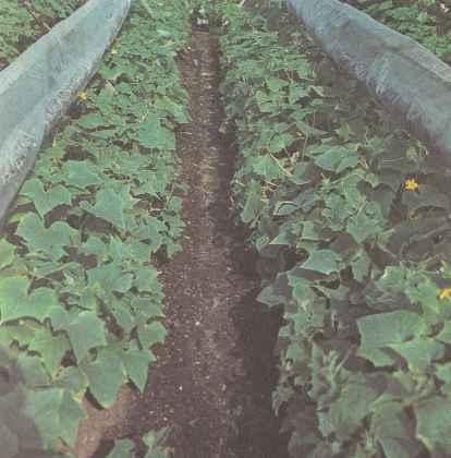 Выращивание огурцов в теплице зимой.