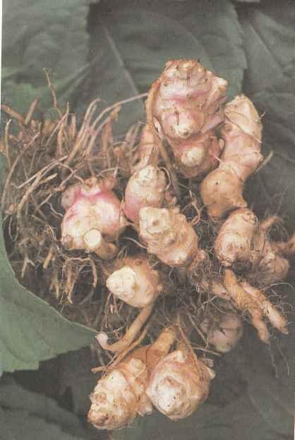 Шпинат - выращивание и уход в открытом грунте