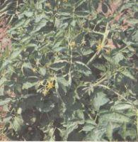 Растения томата в открытом грунте