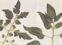Типы листьев томата: обыкновенный и картофельный