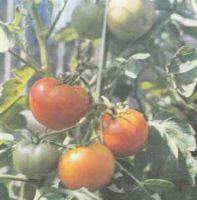 Томат, сорт Волгоградский скороспелый