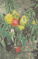 Перец сладкий, сорт Новочеркасский  35