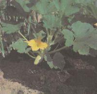 Растения кабачка