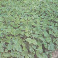 Посевы фасоли овощной